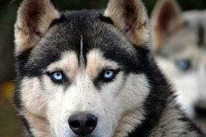 Husky-Involved-In-Child-Injury-Dog-Bite-Claim